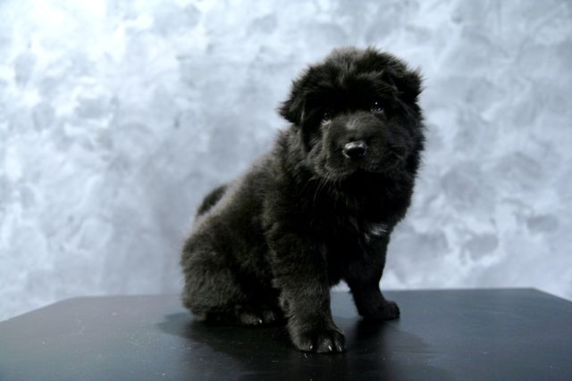 Female Shar Pei for sale- long fluffy hair.