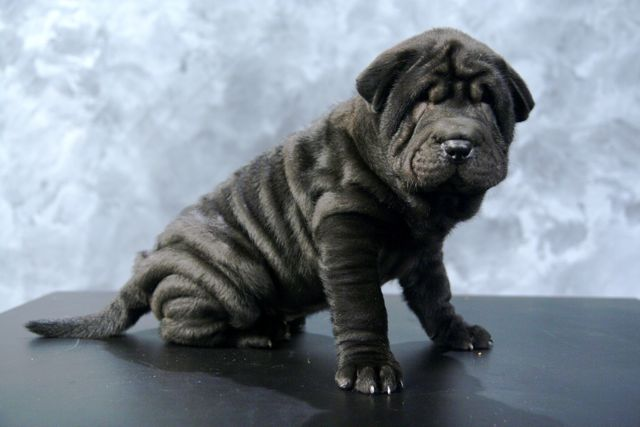 Male Shar Pei with standard wrinkles