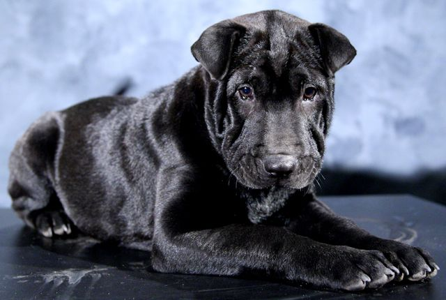 Chinese shar pei puppy in Dayton